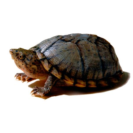 Baby Razorback Musk Turtles for sale. Very tiny baby turtles. Visit our turtle super store, see our huge selection of turtles and turtle products for sale.