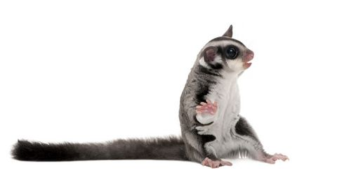 Sugar Glider Care A-Z  Very Educational