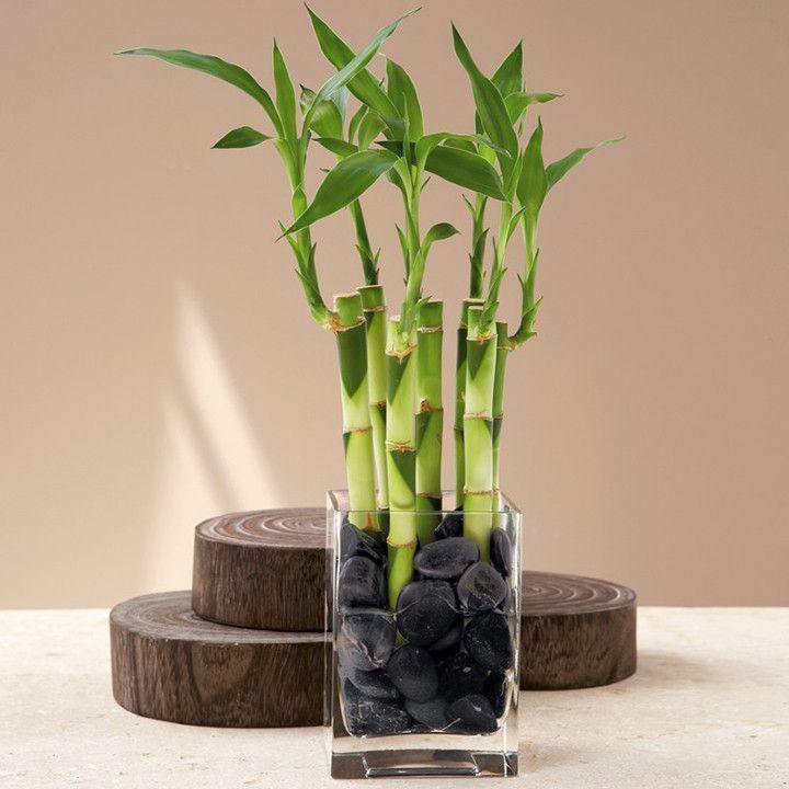 Bambu da sorte = Essa espécie não gosta muito de luz e adora umidadeótima para ser colocada até mesmo em banheiros. Ainda assim, você precisa ter o cuidado de regar constantemente. Segundo a filosofia do Feng-Shui, é uma planta que traz boas energias.