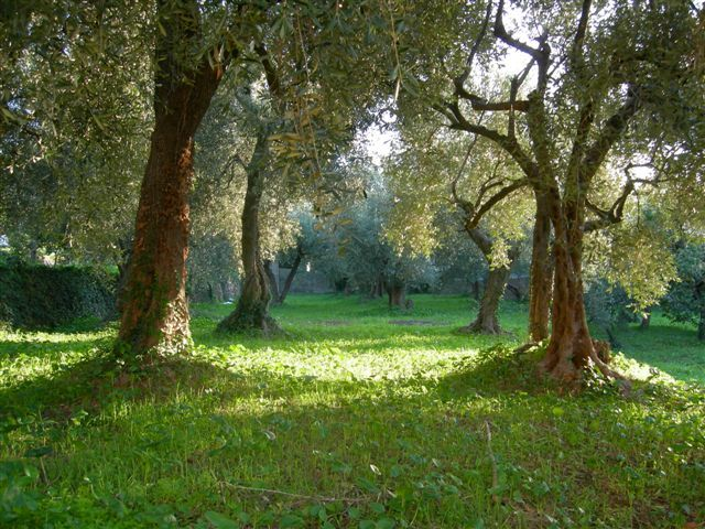 Our fairy olive tree grove