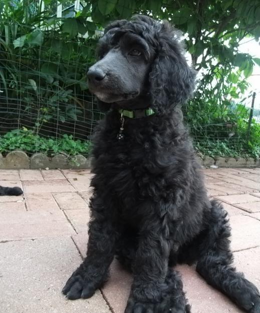 black standard poodle puppy - photo #20