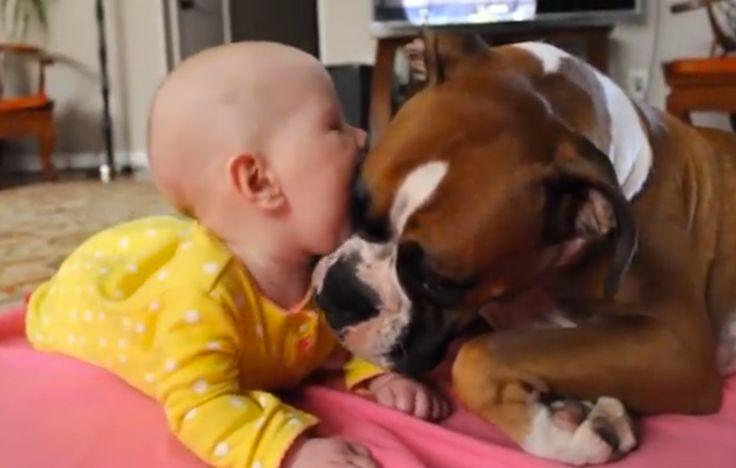 Baby And Boxer BFFs Enjoy Slurpy Kisses! (VIDEO)