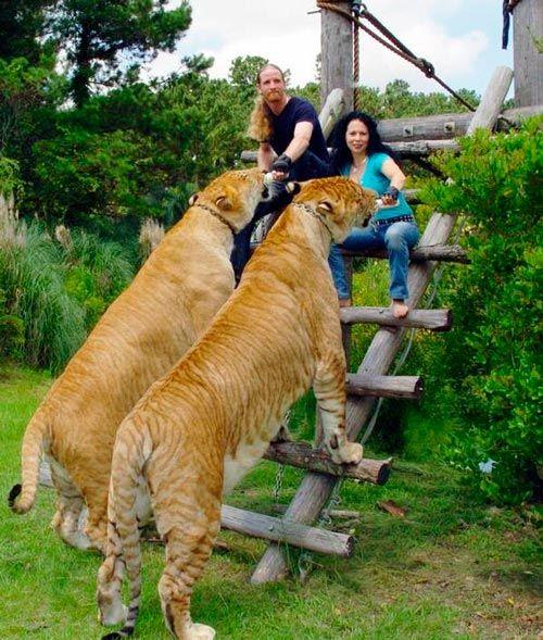 """LIGRE, este animal pode ser considerado o maior felino do mundo e embora pareçam criaturas irreais, eles realmente existem. Pesando cerca de 450 kg,  quase 100 vezes mais do que gatos domésticos e quase o dobro de Panthera tigris ou Panthera leo, eles  também podem medir até 4 metros. Geralmente apresentam o corpo levemente listrado e podem rugir com tanta potência como seu pai leão.  Este porte """"gigantesco"""" ocorre devido a falta do gene que inibe o crescimento. Este gene está ativo na leoa…"""