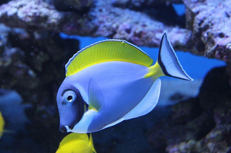 Akvaariossa voit valita oman suosikkisi yli 200 kala- ja vesieläinlajista, jotka ovat kotoisin maailman eri kolkissa sijaitsevista meristä ja järvistä. In the Särkänniemi Aquarium, you can choose your own favourite from over 200 species of fish and aquatic animals that come from seas and lakes all around the world