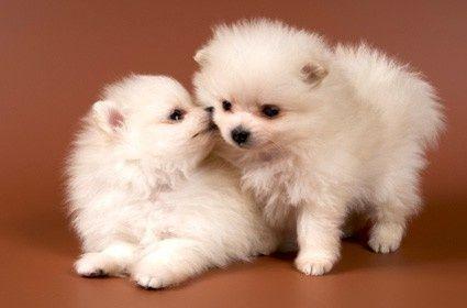 Pomeranians Puppies