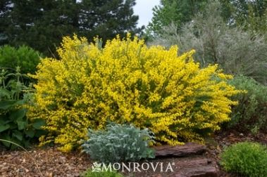 Monrovia's Spanish Gold® Broom details and information. Learn more about Monrovia plants and best practices for best possible plant performance.