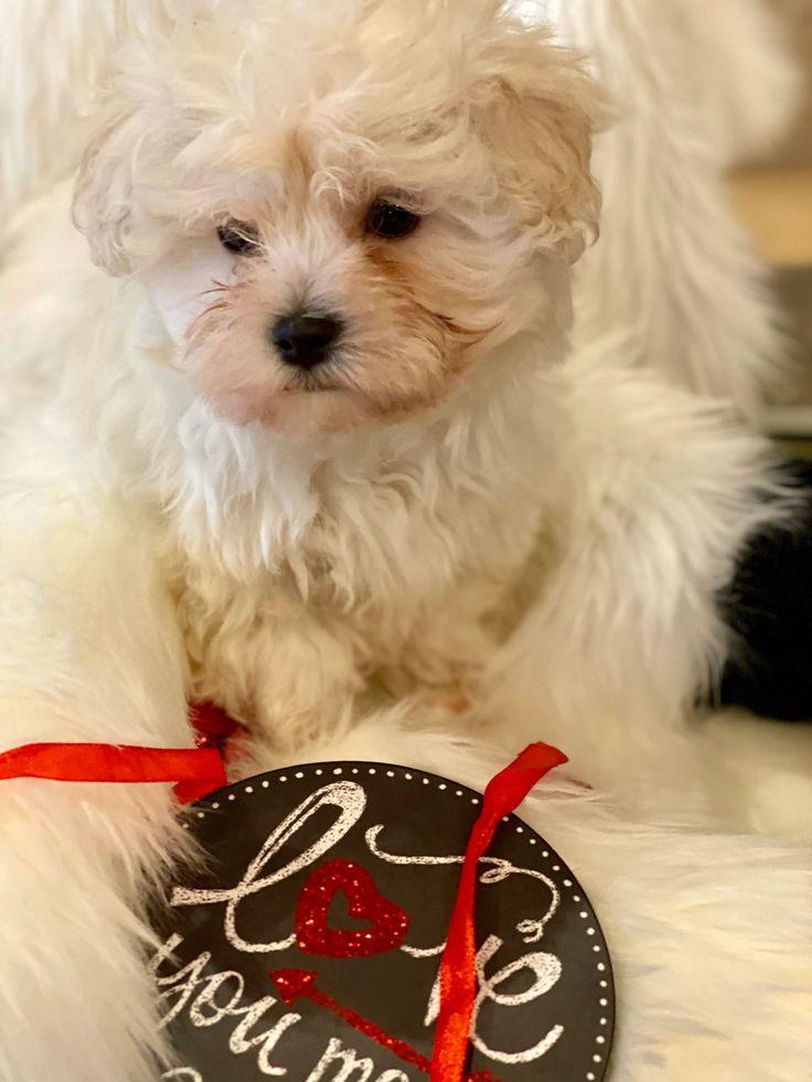 Maltese puppies for sale micro premium pups llc in 2020