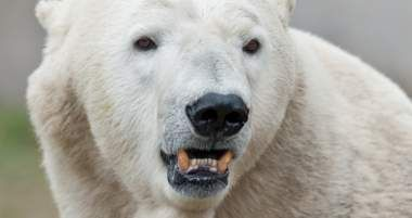 Fake News of Polar Bears Dying From Global Warming Exposed — Again
