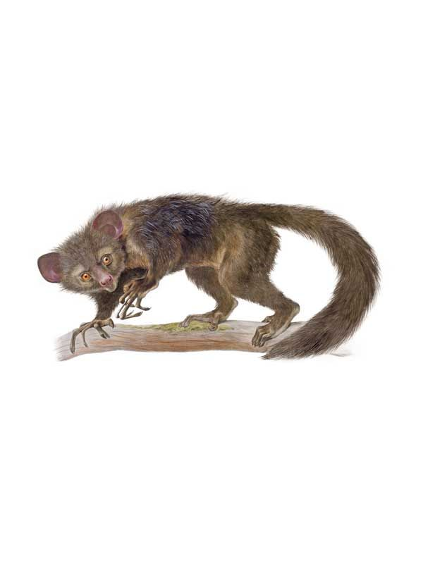 Aye-Aye. Nel suo testo su questo animale, Monograph on the aye-aye (1863), Richard Owen, il fondatore del Museo di storia naturale di Londra, sostenne che l'aye-aye (Daubentonia madagascariensis), un lemure del Madagascar, andasse classificato come un primate. L'illustrazione, opera di Joseph Wolf, riesce a catturare il comportamento dell'animale tanto quanto la sua anatomia. (© AMNH \ D. Finnin)