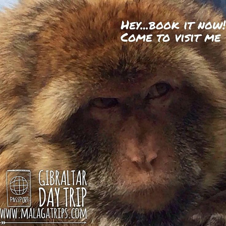 Visit Gibraltar & St. Michael's Caves in a Day Trip from 47,90€ from Malaga! Enjoy the monkeys and much more 🐒👌😉 #Malagatrips #Malagatours #monkeysgibraltar #mondaymood #monkeys #gibraltar #malaga #vacation #inspiration #instatravel #traveltrip #travel #holiday #andalucia #europe #daytrips #wanderlust #gibraltarmonkeys
