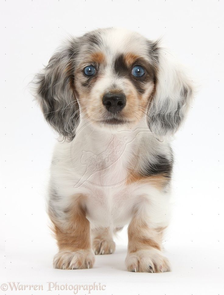 let's get one of these to match Dottie ...silver double dapple dachshund