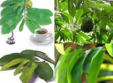 Selamat datang diblog Mela Information, kali ini akan membahas tentang 8 Manfaat rebusan daun sirsak untuk kesehatan dan cara pengolahannya