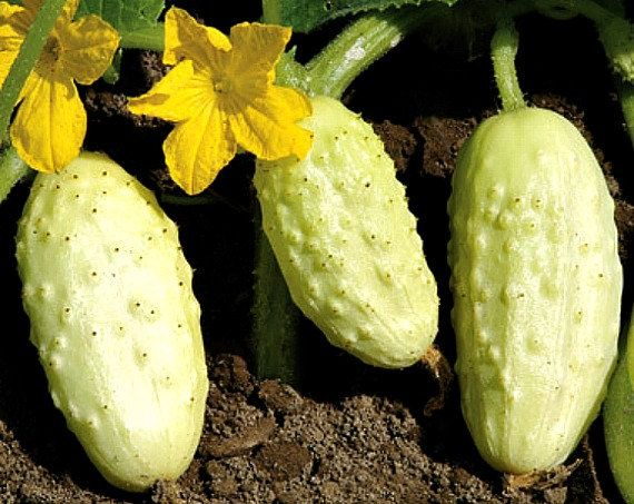 Miniature White heirloom cucumber, 15 seeds non GMO, sweet and crunchy, compact vines for containers, small gardens, great salads, pickles