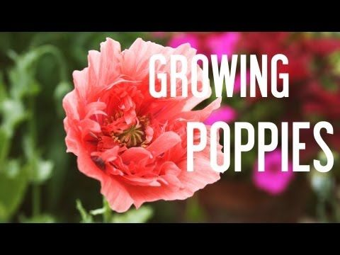 How to Grow Poppies From Seeds (one of my all time favorites. So delicate looking, yet resilient)