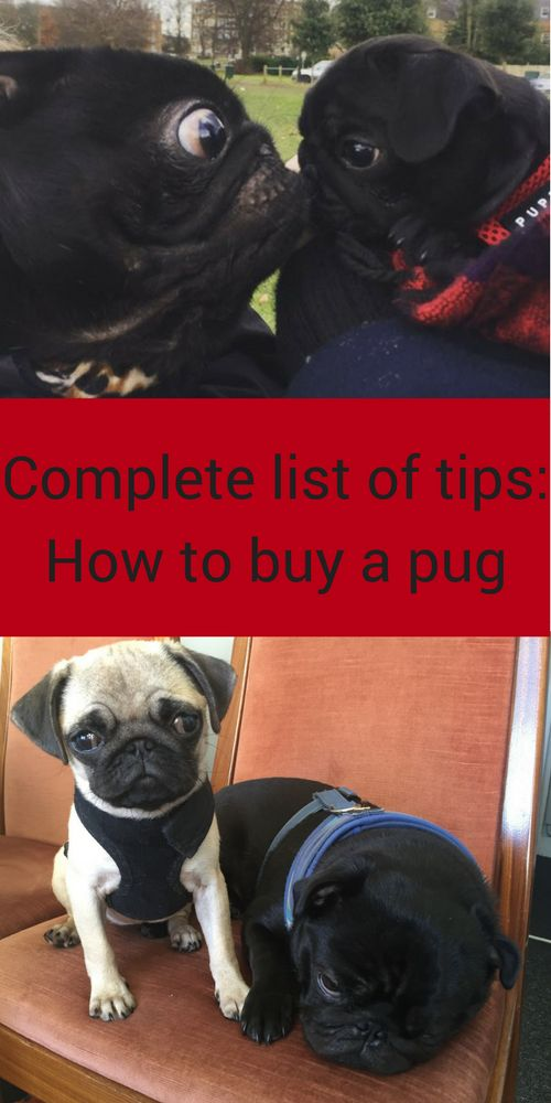 how to buy a pug