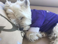 Is there anything cuter than a sleeping Westie? Nah.