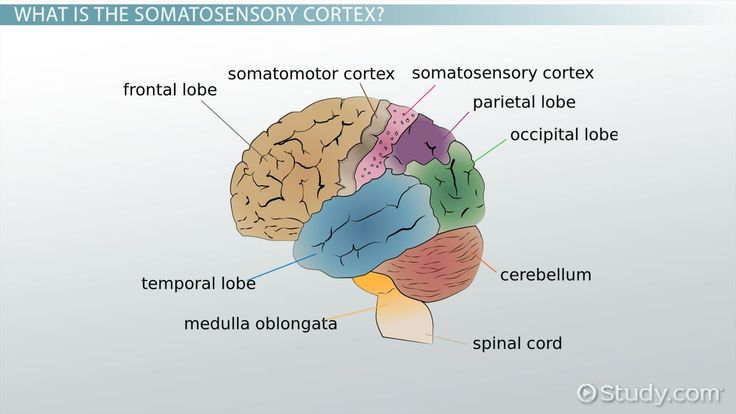 This lesson is about the somatosensory cortex and it will cover what the somatosensory cortex is, where it is located in the brain, and what...