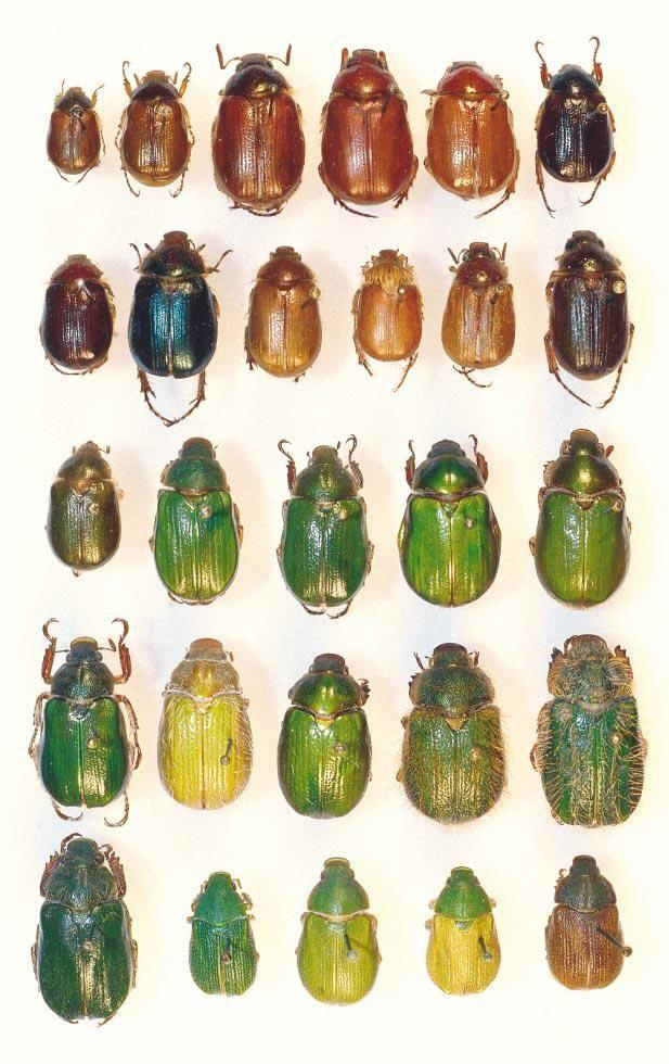 1st row: Aulacopalpus aconcaguensis, A. aconcaguensis, A. castaneus, A. castaneus, A. castaneus, A. punctatus.2nd row: A. ciliatus, A. clypealis,A. pilicollis, A. pilicollis, A. pygidialis, A. valdiviensis.3th row: A. viridis, Brachysternus angustus, B. germaini, B. marginatus, B. olivaceus.4th row: B. patagoniensis, B. prasinus, B. prasinus, B. prasinus,B. spectabilis.5th row: B. spectabilis,Hylamorpha elegans,H. elegans, H. elegans, H. elegans.