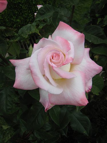 Looks like sugar roses on top of cakes.  'Secret' Hybrid Tea Rose