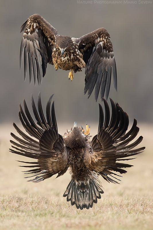 White-tailed eagles in Poland.