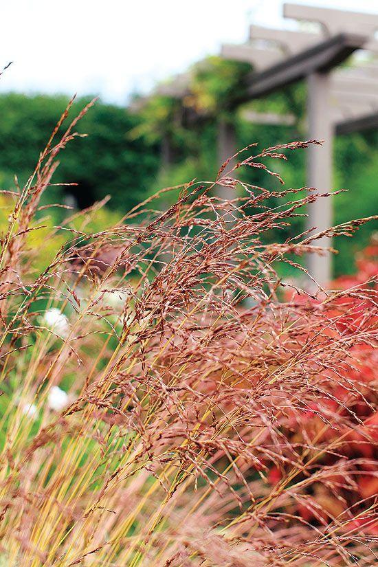 8 best plants images on pinterest landscaping flowers for Decorative grasses full sun