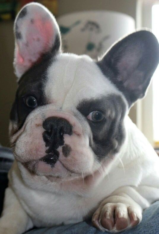 Blue pied male french bulldog Cuties Pinterest
