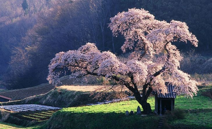 These Stunning Photos Of Japanese Cherry Blossoms Will Fill You With Wonder White Flowering Shrubs Anime Backgrounds Wallpapers Landscape