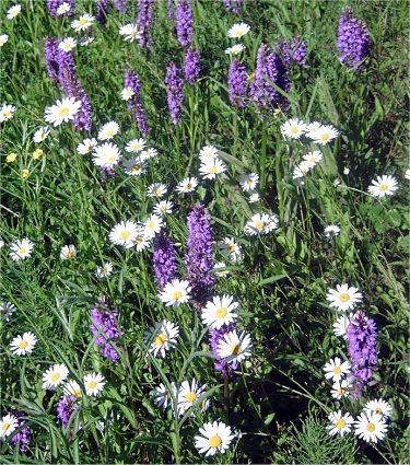 wilde planten in Nederland en België   database of wild flowers