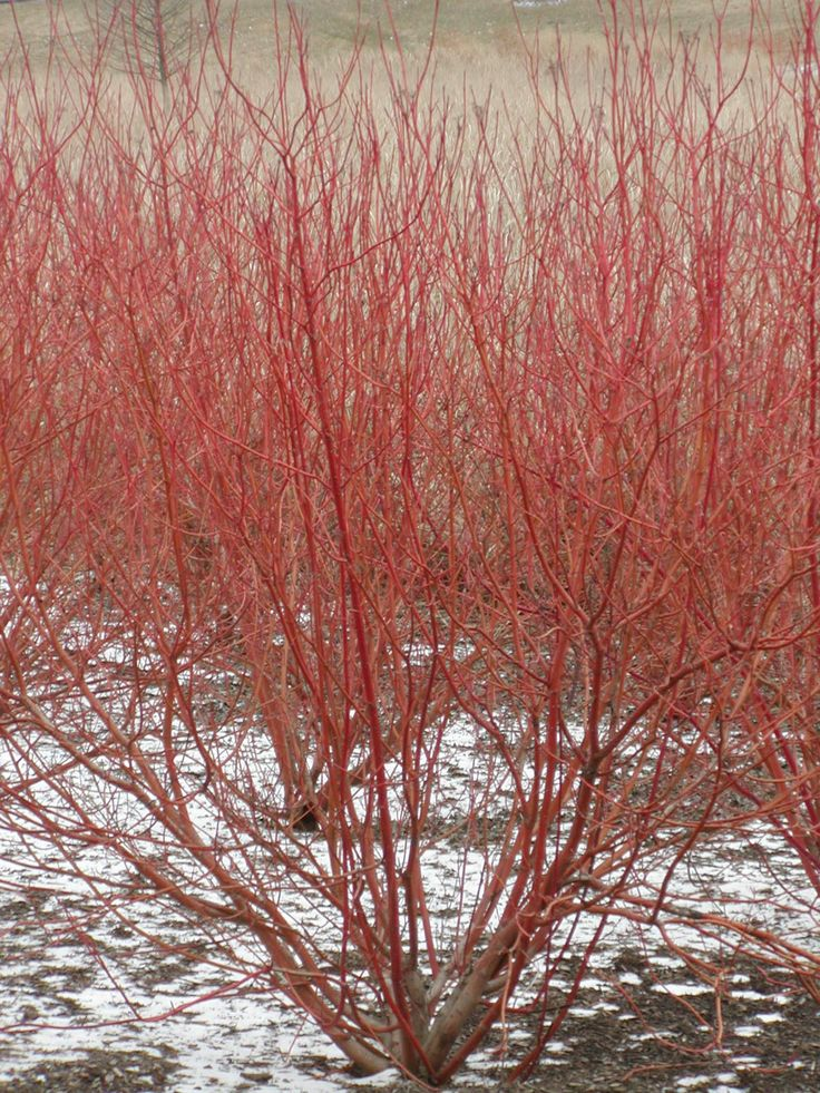 17 best images about utah native plants on pinterest for Red twig dogwood