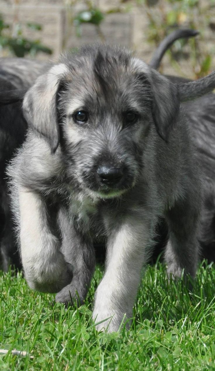 Irish Wolfhound Puppies From Heart Tested Parents Only