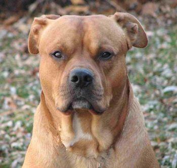 ... bulldog lab mix   American Bulldog / Labrador Retriever Hybrid Dogs