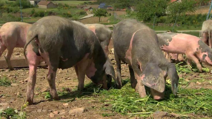 O Chefe Cordeiro e a Catarina Furtado foram saber como se produz porco bísaro
