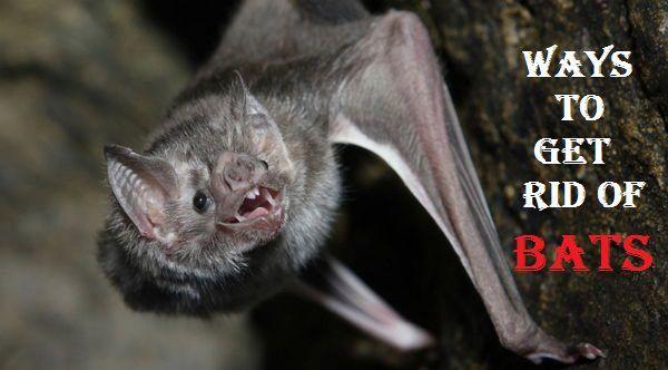 How To Get Rid Of Bats Getting Rid Of Bats Bat Rid