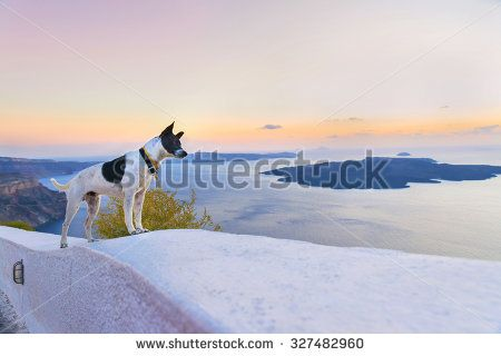 Funny dog on a white stone wall watching the sunset in the caldera of Santorini(Thira)island.Cyclades.Greece.Europe.
