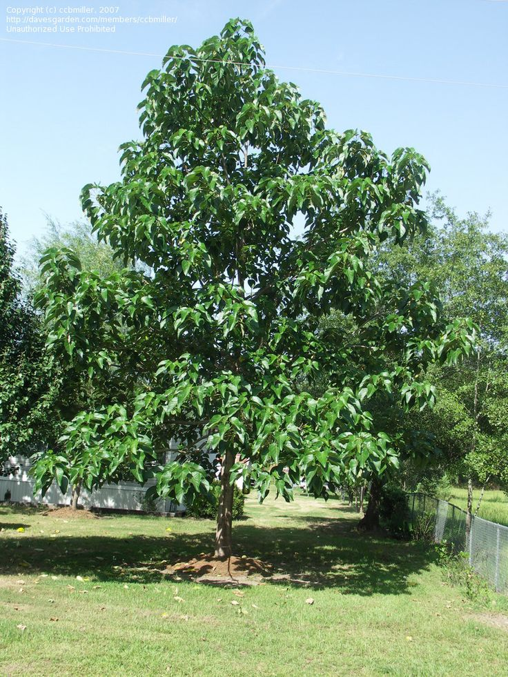 Paulownia tomentosa 4 years old garden trees for Garden deciduous trees