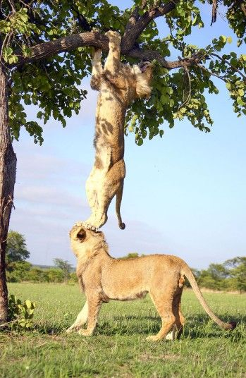 A lion stuck in a tree gets a bit of help from his elder brother. Picture: CATERS