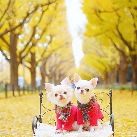 petitchienのマフラーを @nagico1121 さん家のマメちゃんペロちゃんが可愛くコーディネートしてくれました♡ 現在minneにて販売中です☺︎ ・ LINE公式アカウント 【ID】@hpp0817h 直接販売やクーポンなど配信中♡ ・ ・ ・ #犬服#犬服ハンドメイド#蝶ネクタイ#チワワ#ロンチー#犬バカ部#トイプードル#トイプー#ダックスフンド#ミニチュアダックス#ポメラニアン#パピヨン#愛犬#愛犬家#east_dog_japan#今日のわんこ#todayswanko#いぬら部#わんこなしでは生きて行けません会#chihuahualove_feature#モデル犬#イケワン#クールバンダナ#麦わら帽子#マナーポーチ#マナーベルト#ハンドメイド犬服#殺処分ゼロ#チャリティーTシャツ#迷子札つけよう隊