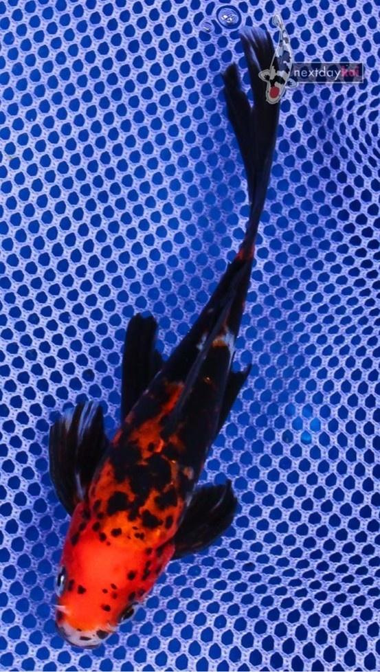 Goldfish - yet another beautiful Midnight Shubunkin