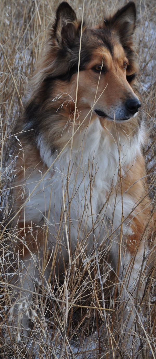 Mariposa's Sable Sentry | Old-Time Scotch Collie