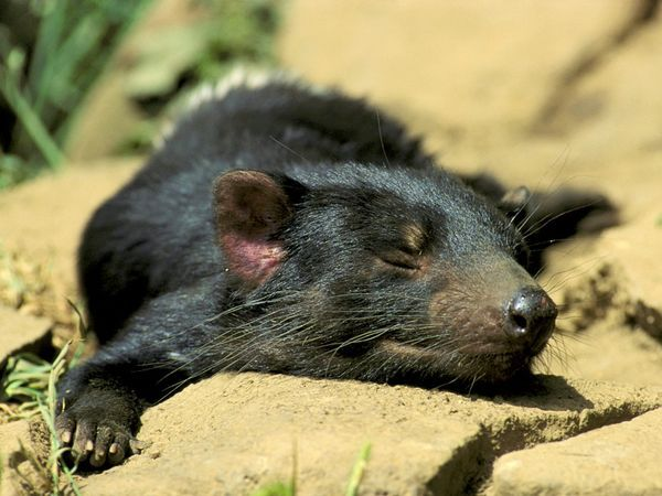 Tasmanian devils are usually nocturnal animals, sleeping in burrows or hollow logs during the day and emerging at night to feed. Occasionally individuals such as this snoozing specimen in Tasmania will break the pattern and come out in daylight to bask in the sunshine.