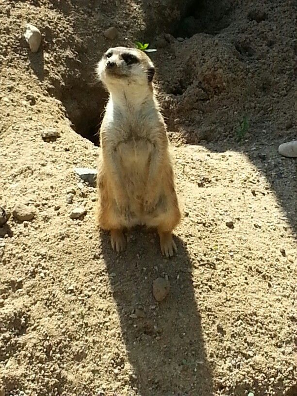 Compare the Meerkat!! Taken at Prague Zoo