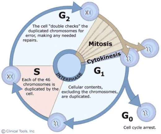 An overview of the somatic cell cycle. As can clearly be seen, mitosis occupies only a small percentage of this cycle