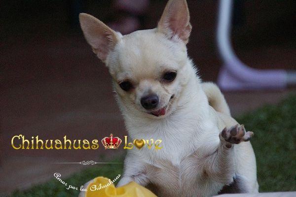 Chihuahuas Love - ¿Ladran o No Ladran Los Chihuahuas? Informar Raza Chihuahua.