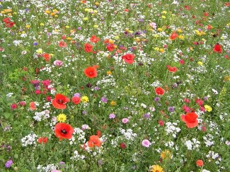 """Pictorial Meadows """"Short"""" Annual  Mix. Amix suited especially to more restricted or compact situations but having the same long-flowering characteristics of the standard mixture.    Components include :    Fairy Toadflax Linaria maroccana    Red FlaxLinum grandiflorum rubrum    Shirley PoppyPapaver rhoeas    Love-in-a-mist, Nigella damascena    CandytuftIberis umbellata    Blue Flax Linum usitatissimum    General Height: 30-40 cm"""