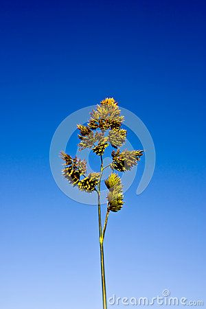 Closeup of green wild grass with seeds, blue sky background.
