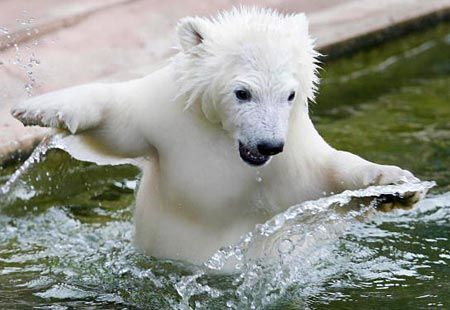 global warming affects polar bears Quick answer climate change affects polar bears in many negative ways, including decreased access to food, lower survival rates for cubs, damages to polar bear dens and a decrease in overall polar bear population many scientists point to climate change as the largest threat to polar bears.