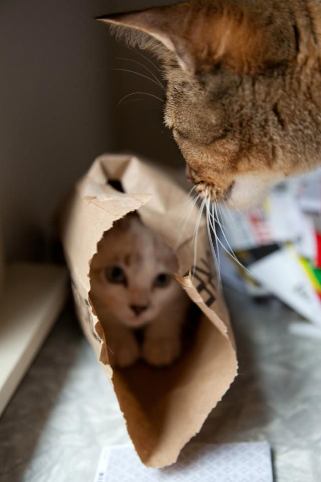 Hiding from Mom Cats kittens animals pets baby mommy cute precious