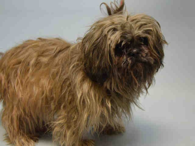 SHORTY - A1113759 - - Brooklyn  TO BE DESTROYED 06/03/17 **ON PUBLIC LIST – SIGHT IMPAIRED** -  Click for info & Current Status: http://nycdogs.urgentpodr.org/shorty-a1113759/
