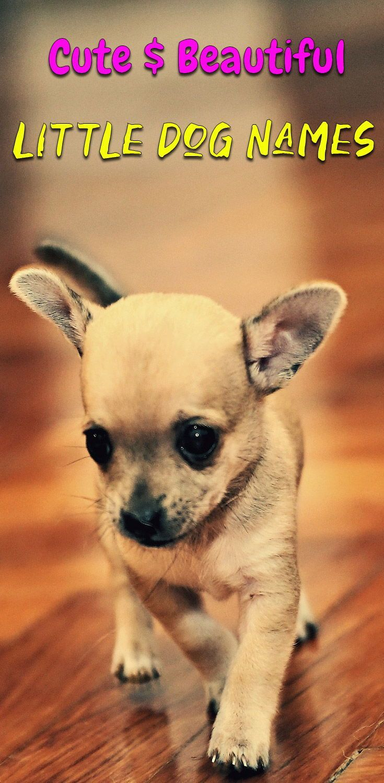 Cute Chihuahua Names Girl Boy Dog Names Mini Cute Chihuahua