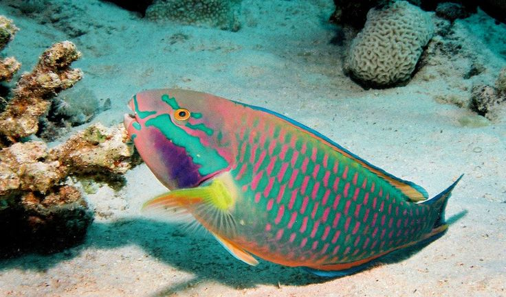 Rainbow Parrot fish.... Swam with these off the coast of the Cayman Islands!